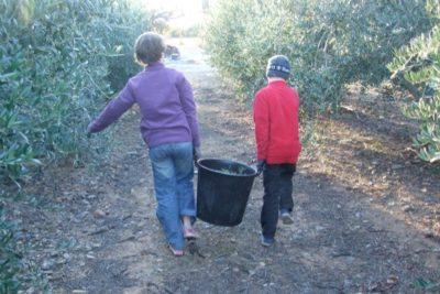 recollir olives